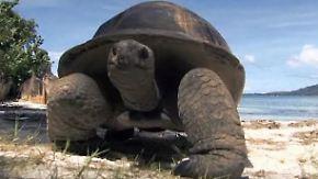 """Sanfte Giganten auf """"Curieuse"""": Schildkröten bekommen Geschenke"""