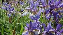 Die Sibirische Schwertlilie mit ihren leuchtend blau-violetten Blüten.