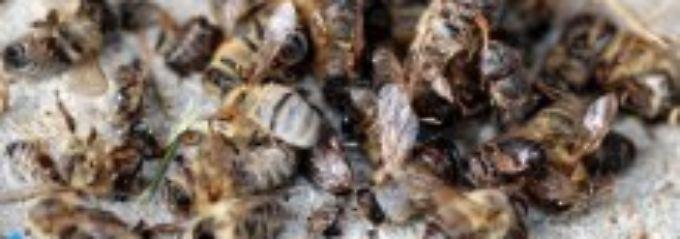 Tote Bienen in einer Imkerei in Freiburg.