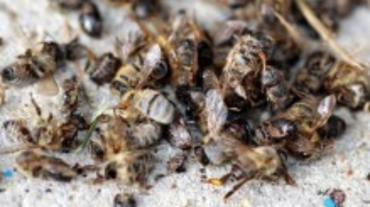 milben viren gift klimawandel bienen sterben weltweit n. Black Bedroom Furniture Sets. Home Design Ideas