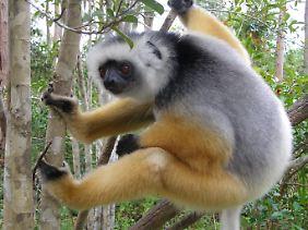 Der Diademsifaka zählt zu den farbenprächtigsten Lemuren.