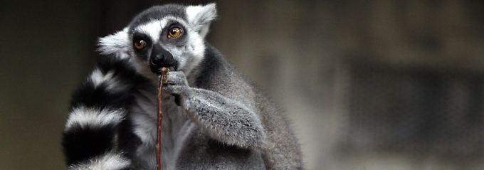 Ein Katta, der zu den Lemuren gehört.