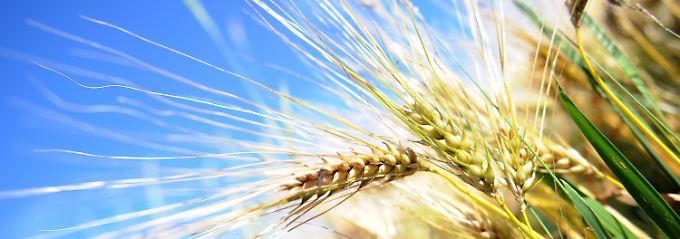 Weizen wird häufig als Rohstoff für Biokraftstoff genzutzt.