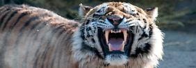 Tiger tötet Tierpflegerin: Polizei leitet Ermittlungen ein