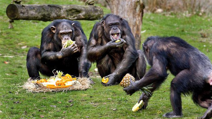 Schimpansen in einem Safaripark in Hilvarenbeek, Niederlande.