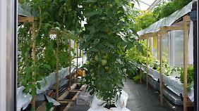 Ein Blick in die obere Etage: Hier gedeihen die Tomaten.
