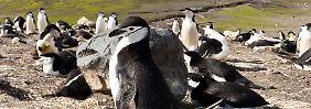 Zügelpinguine bei Baily Head, in einer der größten Kolonien von Deception Island.