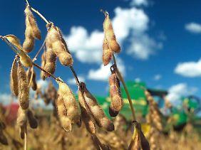 Eine gentechnische veränderte Sojapflanze auf einem Feld in Brasilien.
