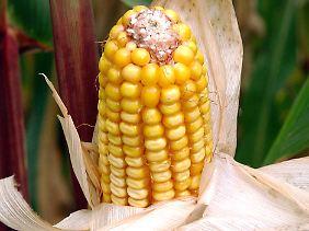 Für den Laien ist kein Unterschied zu erkennen: Genmais von Monsanto im brandenburgischen Bad Freienwalde.
