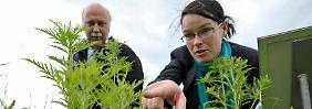 Um eine weitere Ausbreitung der hochallergenen Ambrosia-Pflanze zu verhindern, werden sogenannte Ambrosia-Scouts ausgebildet, die die Pflanzen aufspüren sollen.
