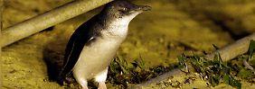 Seltener Stadtbewohner: Pinguin an einem Gehweg in Manly.
