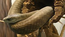 Die Schwarze Mamba kann bis zu 4,5 Meter lang werden und ist damit die längste Giftschlange Afrikas.