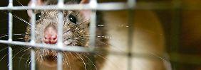 Französische Wissenschaftler untersuchten 200 Ratten über einen Zeitraum von zwei Jahren.