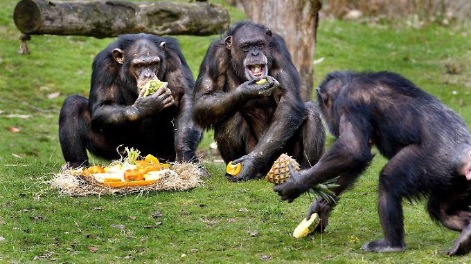 Keine guten Teamplayer: Schimpansen in einem Safaripark in Hilvarenbeek.