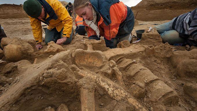 Forscher legen das Skelette frei. Das Tier lebte vor 50.000 bis 200.000 Jahren.