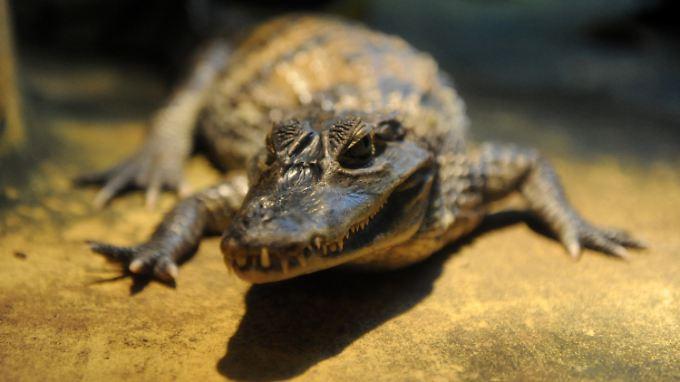 Anders, als sie aussehen: Krokodile sind sensible Tiere.