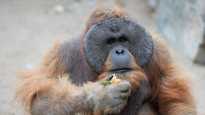 Auch Orang-Utans können eine Midlife-Crisis durchleben.