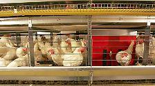 Hühnerhaltung in Deutschland: Endlich das Gelbe vom Ei?