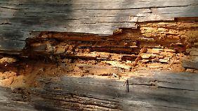 Hier ist der Wurm drin - der Holzwurm.