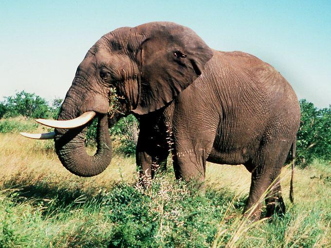 Er gehört zu den wenigen tierischen Gewinnern der Konferenz: der afrikanische Elefant.