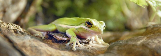 """""""Es ist besser, ein großer Frosch in einem kleinen Teich zu sein, als ein kleiner Frosch in einem großen Teich."""""""