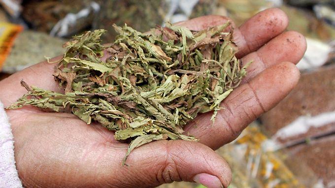 Als Tee sollte man Stevia besser nicht verzehren. Noch ist nicht klar, welche Inhaltsstoffe bei dem Aufguss gelöst werden.