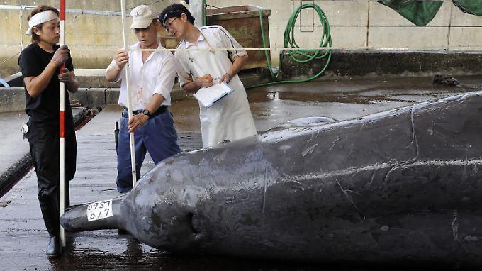 Ein Baird-Schnabelwal vor der Schlachtung im japanischen Wada Port.