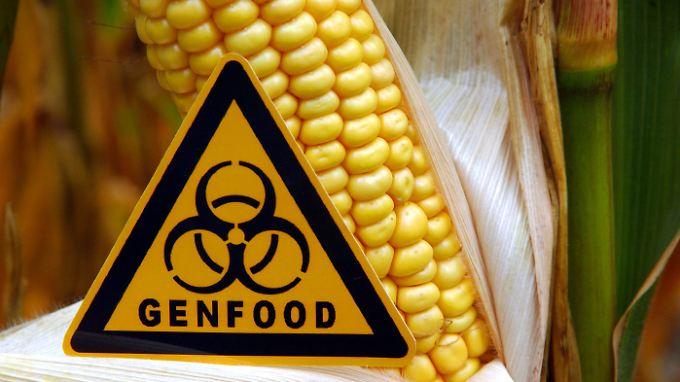 Nach der alarmierenden Studie über krankmachenden Genmais bei Ratten erwägt die französische Regierung ein Verbot des Lebensmittels.