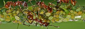 Ameisen leben in einem Sozialverband, bei dem wahrscheinlich auch die innere Uhr der Tiere eine Rolle spielt.