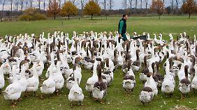 """Auf dem Biohof """"Auguste"""" in Sielow (Brandenburg) wachsen die Gänse in natürlicher Umgebung auf."""
