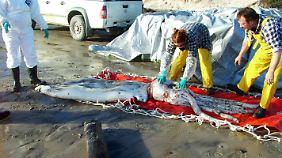 Dieser tote zwei Meter lange Kalmar wurde 2007 in Tasmanien an Land gespült.