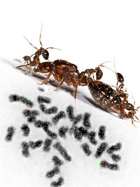 Eine Feuerameisenkönigin und Feuerameisenarbeiterinnen über einer Abbildung von Chromosomen: Die Chromosomen, die darüber entscheiden, ob aus einer Ameise eine Königin wird, sind farbig markiert.