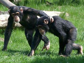 Oxytocin beeinflusst nicht nur emotionale Bindungen bei Menschen, sondern spielt auch im Sozialverhalten von Schimpansen eine Rolle.