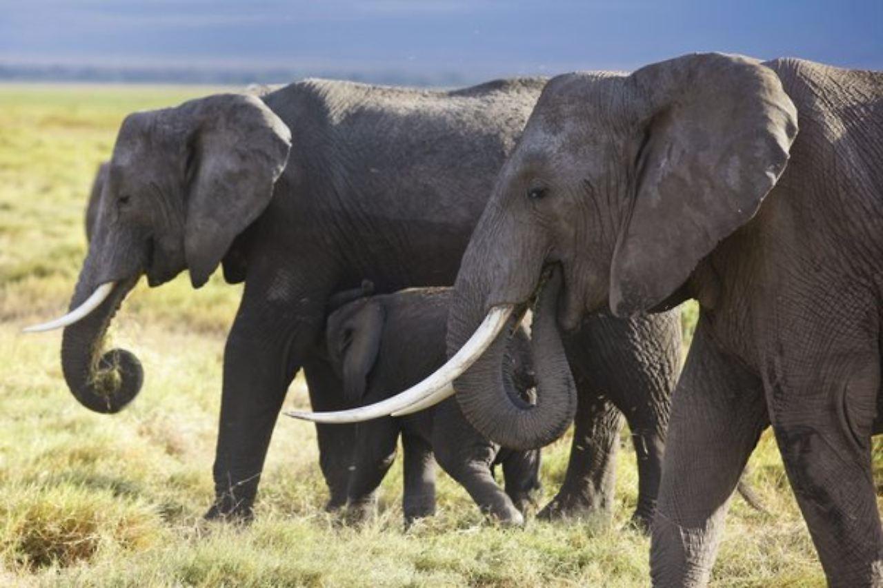 blutige jagd nach wei em gold afrikanischer elefant On afrikanischer elefant hohe