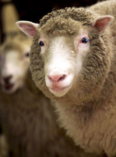 Am 5. Juli 1996 erblickte Dolly das Licht der Welt. Sie war der erste Klon eines ausgewachsenen Säugetieres ...