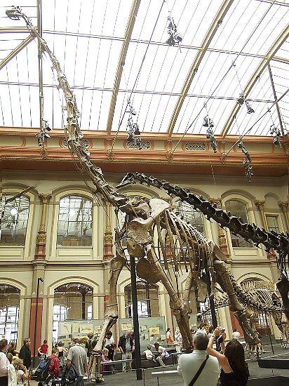 Einst waren sie die größten Tiere an Land: Dinosaurier wie dieser Brachiosaurus, dessen Skelett im Museum für Naturkunde Berlin zu sehen ist. Der Brachiosaurus brachte es auf stattliche 12 Meter in der Höhe und 22,5 Meter in der Länge. Von ähnlich beeindruckendem Ausmaß ...
