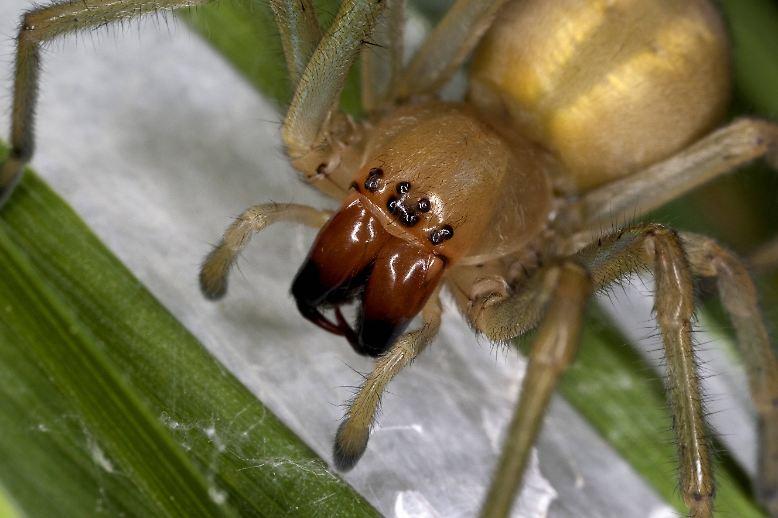 Nein, er führt nicht das weltweite Ranking der Giftspinnen an. Doch immerhin ist der Ammen-Dornfinger die giftigste Spinne Deutschlands. Er lebt vorwiegend im Südwesten und im Nordosten des Landes. Beißt er zu (was nur geschieht, wenn er keine Fluchtmöglichkeit hat), ist das ...
