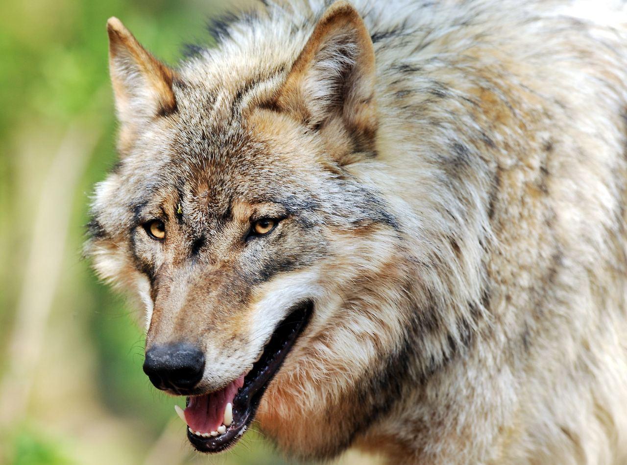 seltene paarung mit einem hund sechs wolf mischlinge auf der abschussliste n. Black Bedroom Furniture Sets. Home Design Ideas