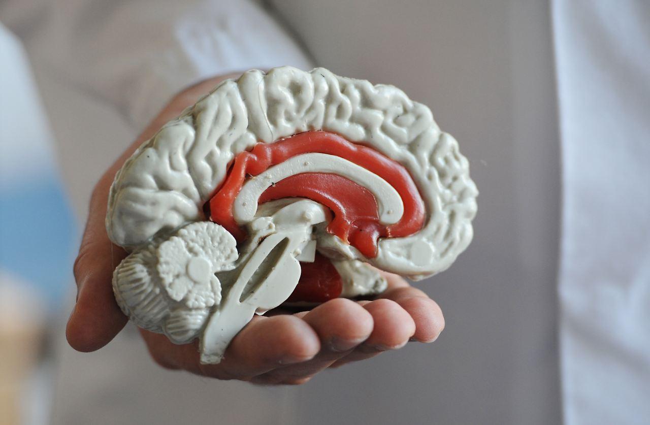 Blick in den Kopf: Menschliches Gehirn war nicht immer rund - n-tv.de