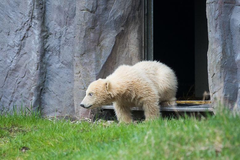 Auch wenn es gefühlt in den letzten Jahren doch ganz schön viel Eisbärennachwuchs in deutschen Zoos gab, ist ihr erster Auftritt vor Besuchern immer noch etwas Besonderes.
