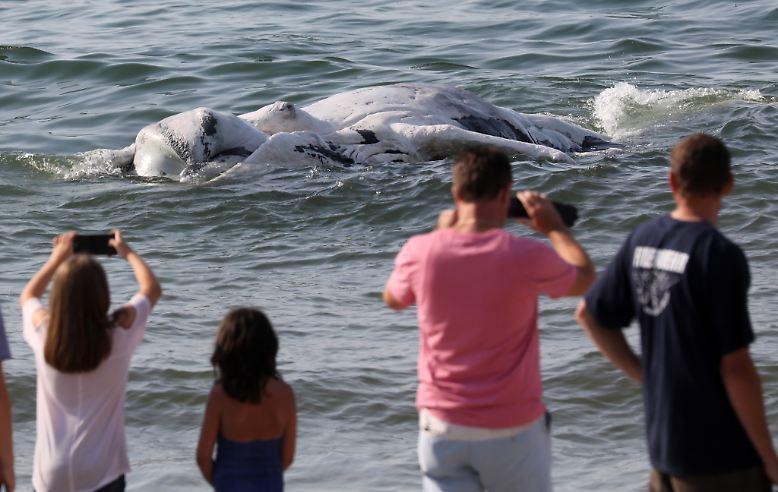 Aufruhr im Ostseeheilbad: Ein acht Meter langer Buckelwal schwimmt tot vor der Küste Mecklenburg-Vorpommerns.