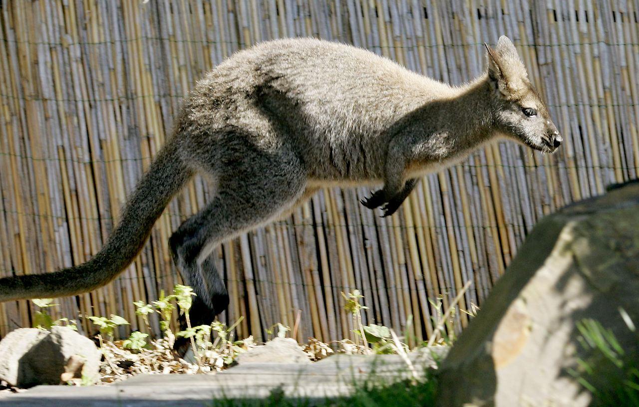 Frühere Kängurus konnten nicht springen - n-tv.de