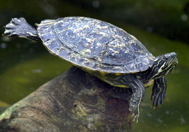 Schildkröten sind behäbig, friedfertig und den meisten Menschen sympathisch. Sie geben keine Laute von sich und viele von ihnen halten sogar Winterschlaf.