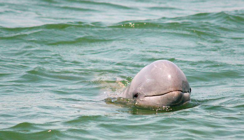 Dass Delfine intelligent sind, ist  bekannt. Studien belegen aber, dass ihr Gehirn dem des Menschen vergleichbar oder sogar ebenbürtig ist.