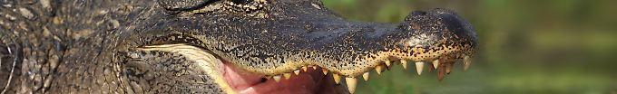 Der Tag: 13:49 Python und Alligator kämpfen auf Golfplatz